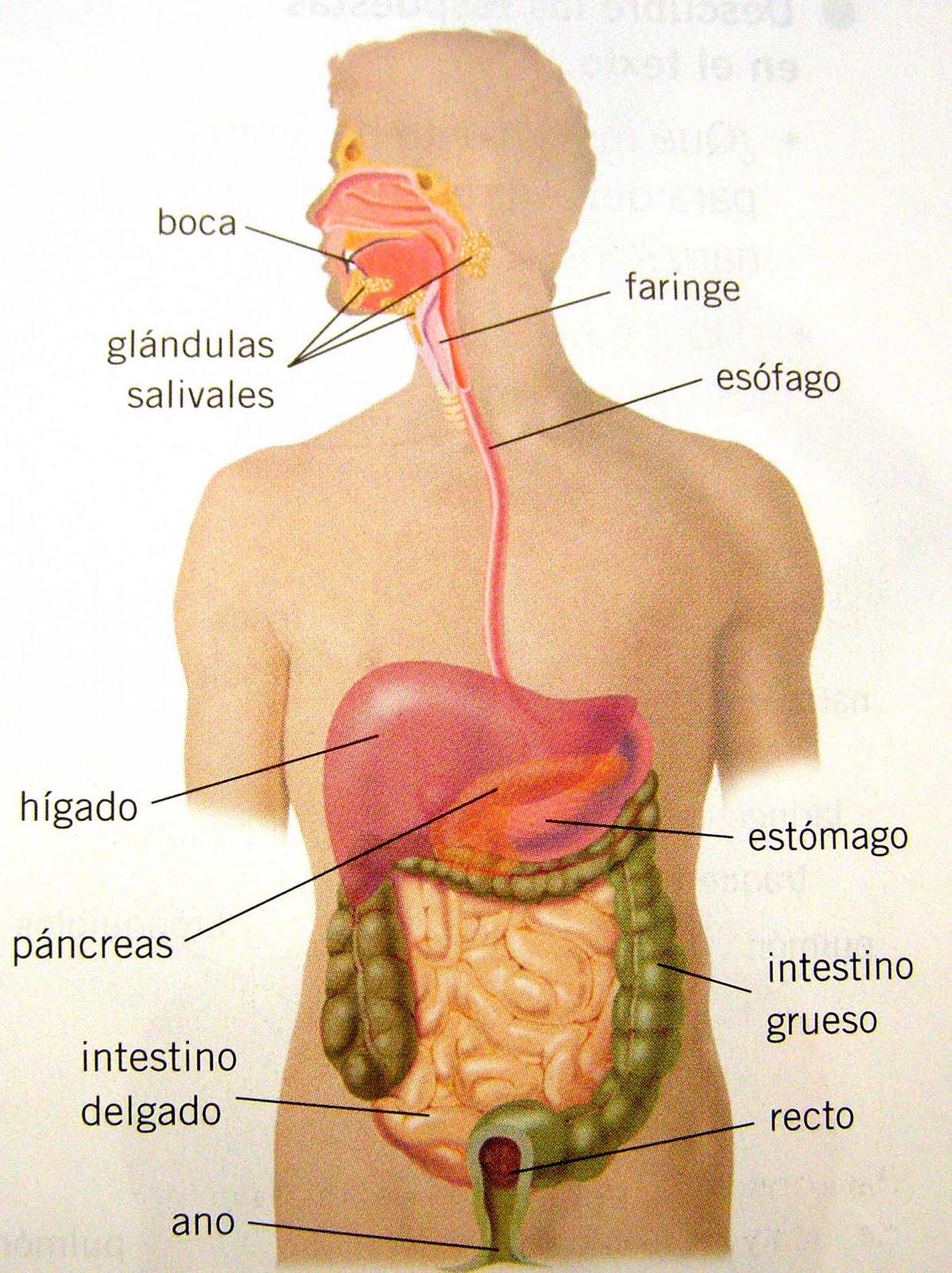 Imagenes del aparato digestivo sin nombre - Imagui