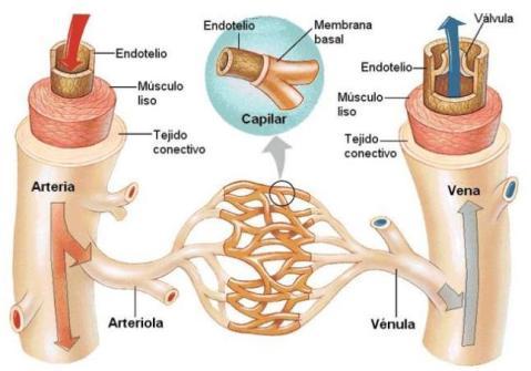 Ramificación vasos sangüíneos